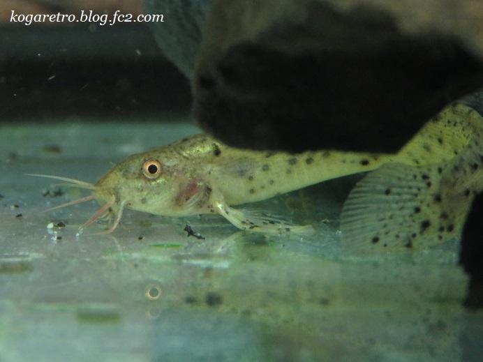 我が家の魚ちゃん2