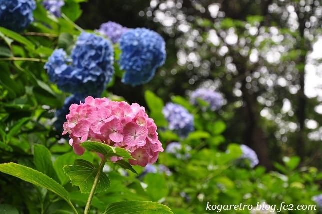 2017太平山のあじさい3