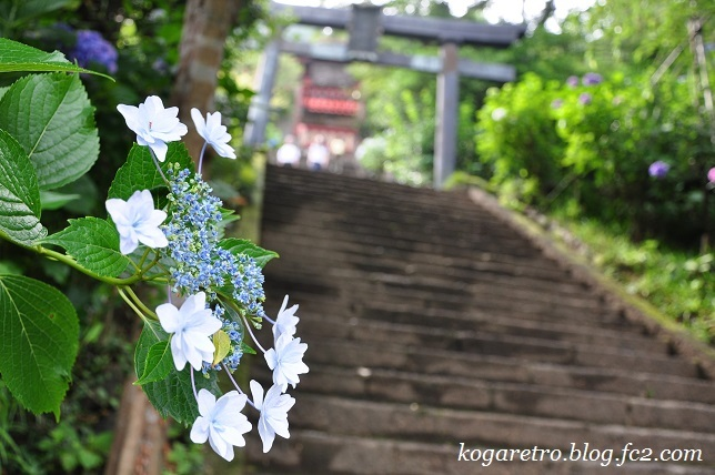 2017太平山のあじさい(2)3
