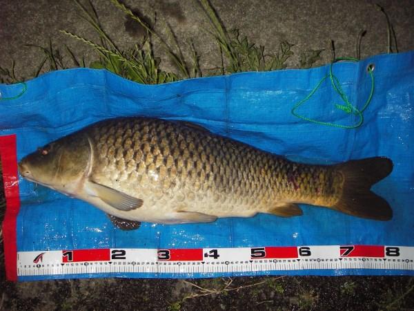 中川 鯉 82cm ソーセージ1本バリ