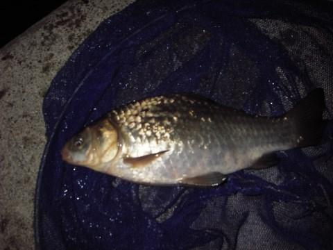 中川 鯉ベラ 27cm パン耳カット