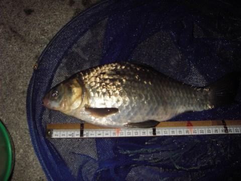 中川 マブナ 鯉フナ 28cmダンゴ