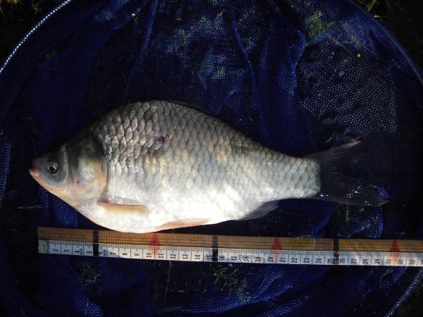 中川 ヘラブナ 29cm パン耳