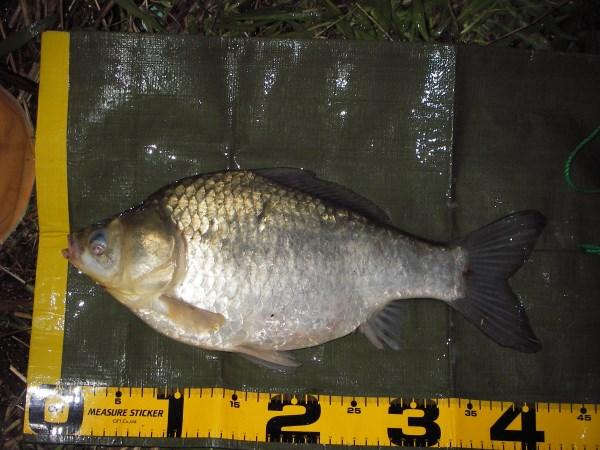 中川 ヘラブナ 41cm 1本バリダンゴ