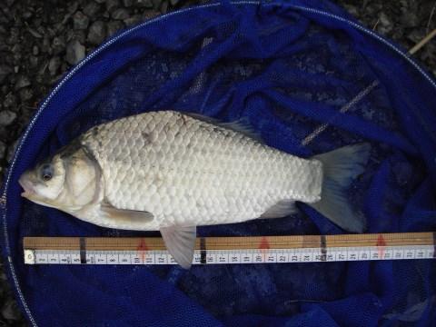 中川 フナ 29cm パン耳