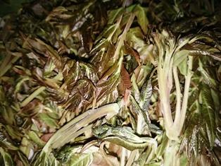 韓、山菜2タラノメ