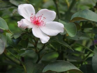 ピンクサクリーナ011
