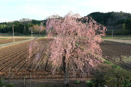 家の枝垂桜
