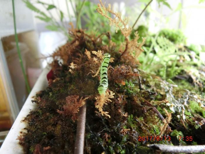幼虫 キスジツマキリヨトウ