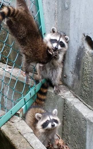 raccoons1.jpg