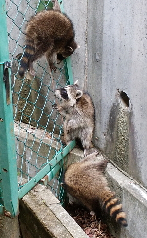 raccoons2.jpg