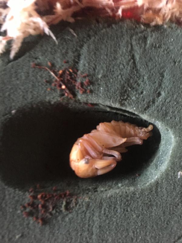 キリクネリウス♂蛹