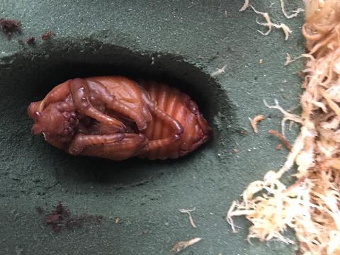 ヨルゲンセン♂蛹