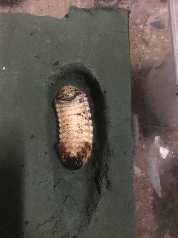 マヤシロカブト♂蛹