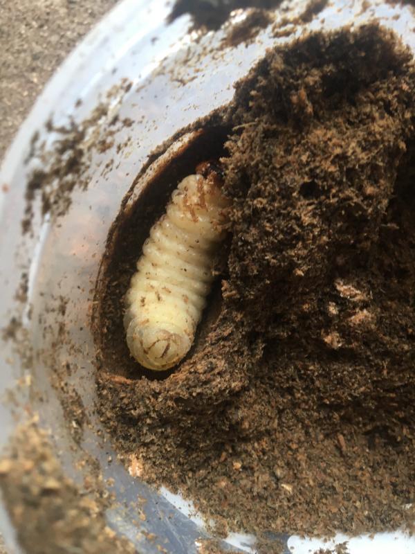 スマトラ前蛹