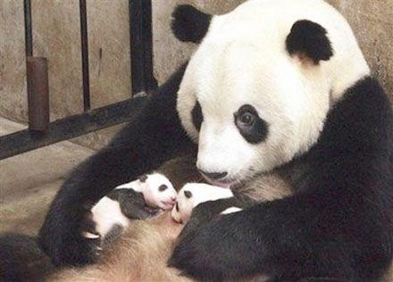 f09abbdae6712fb7fae8b962cbf7eb58--baby-pandas-giant-pandas.jpg