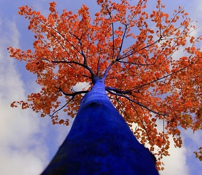blue_tree_autumn_foliage_looking_up_dimopoulos_dave_brown_photography.jpg