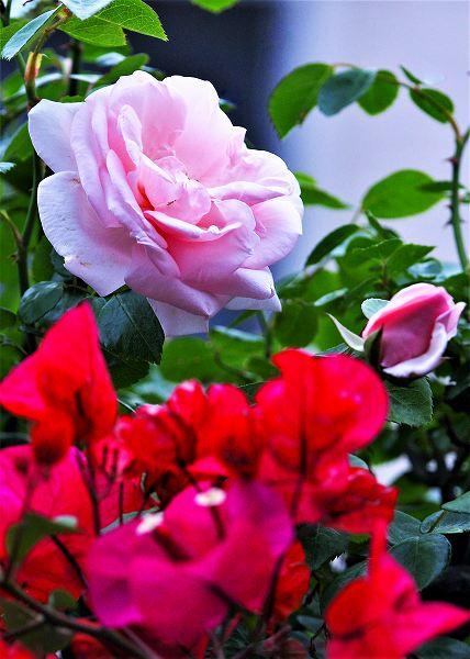 薔薇とピラカンサス