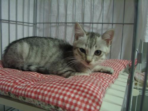 2保護猫オトコの子グレー