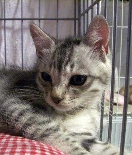 保護猫オトコの子グレー