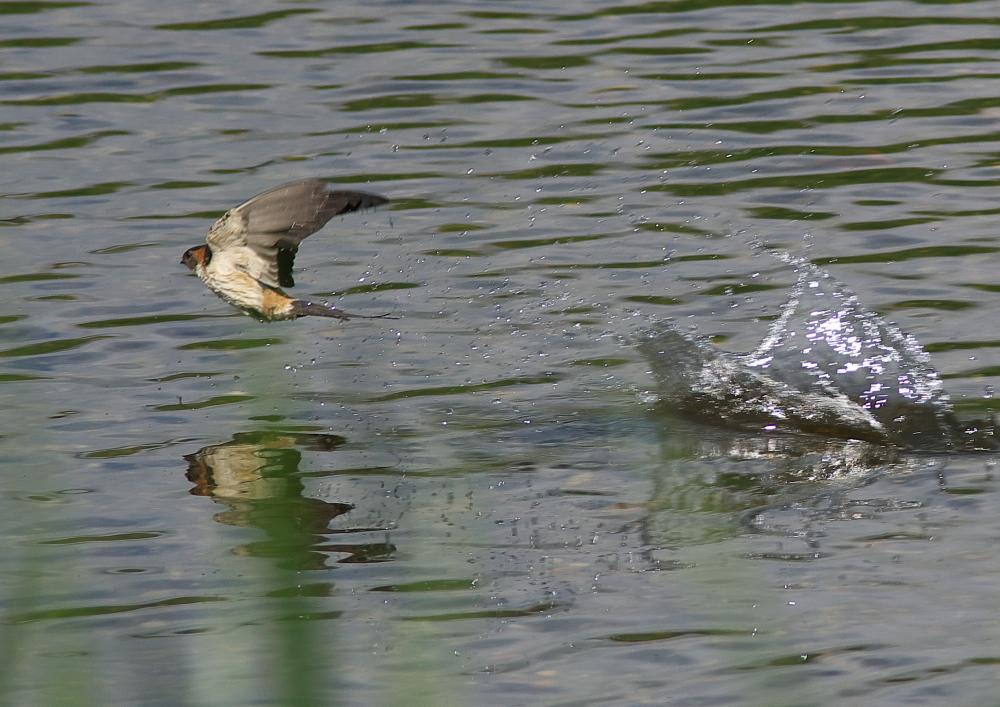 コシアカツバメ (2)