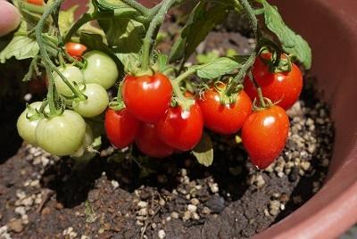 2017年 プチトマト そろそろ収穫