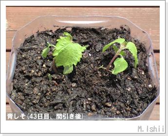 ペット栽培(青しそ)09