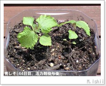 ペット栽培(青しそ)10