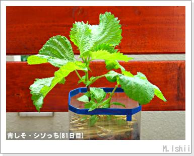 ペット栽培III(青しそ)29