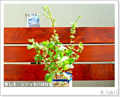 ペット栽培III(青しそ)71
