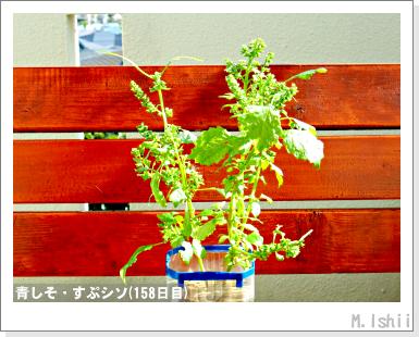 ペット栽培III(青しそ)73