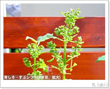 ペット栽培III(青しそ)74