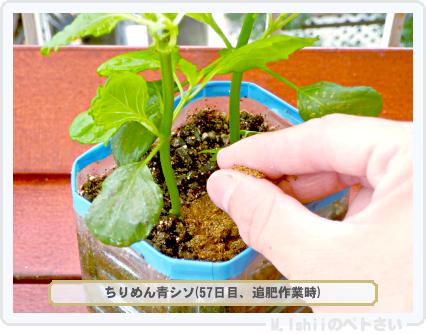 ペトさい(青シソ)44