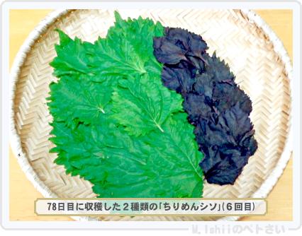 ペトさい(青シソ)86