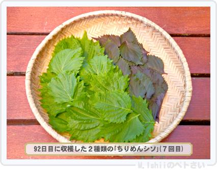 ペトさい(青シソ)99