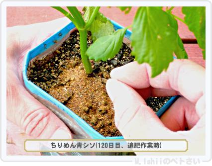 ペトさい(青シソ)121