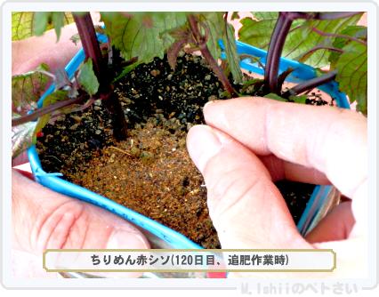 ペトさい(青シソ)128