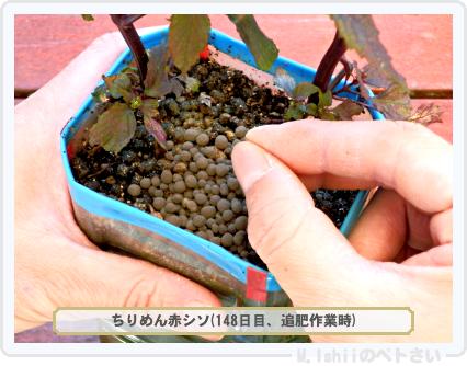 ペトさい(青シソ)153