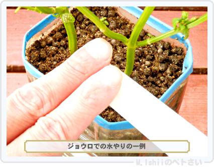 ペトさい(青シソ)159