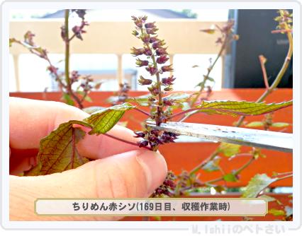 ペトさい(青シソ)165
