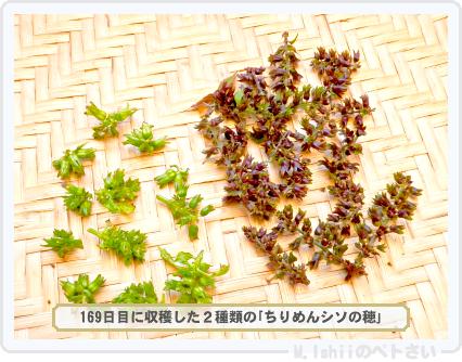 ペトさい(青シソ)166