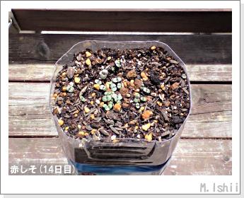 ペット栽培II(赤しそ)06