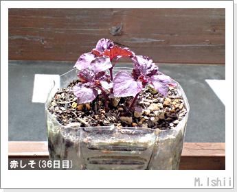 ペット栽培II(赤しそ)10