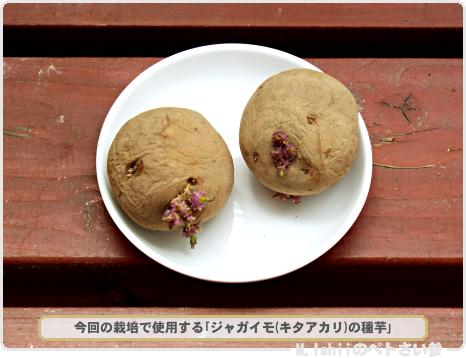 ジャガイモの試験栽培01