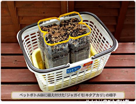 ジャガイモの試験栽培08