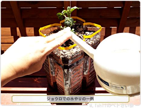 ジャガイモの試験栽培11