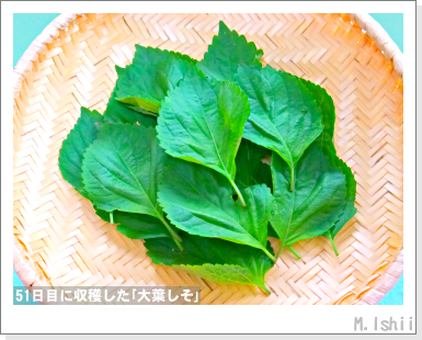 ハーブのペット栽培(大葉しそ)14
