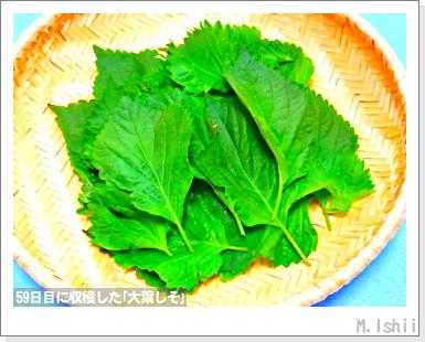 ハーブのペット栽培(大葉しそ)17