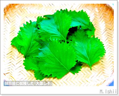 ハーブのペット栽培(大葉しそ)19