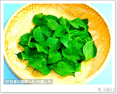 ハーブのペット栽培(大葉しそ)35
